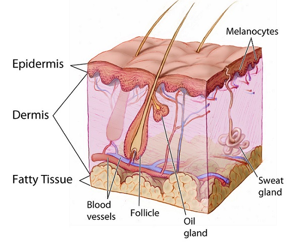 a graphic representation of the dermal layers